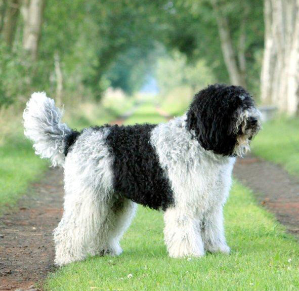 Barbet Breed Guide Learn About The Barbet