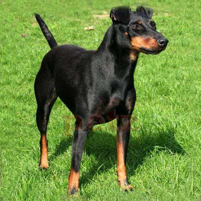 English Toy Terrier Black Amp Tan Breed Guide Learn