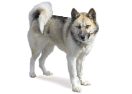 Small Dog Breeds Inuit Type