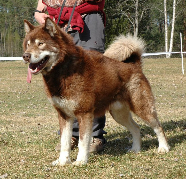 Greenland Dog Breed Guide Learn About The Greenland Dog