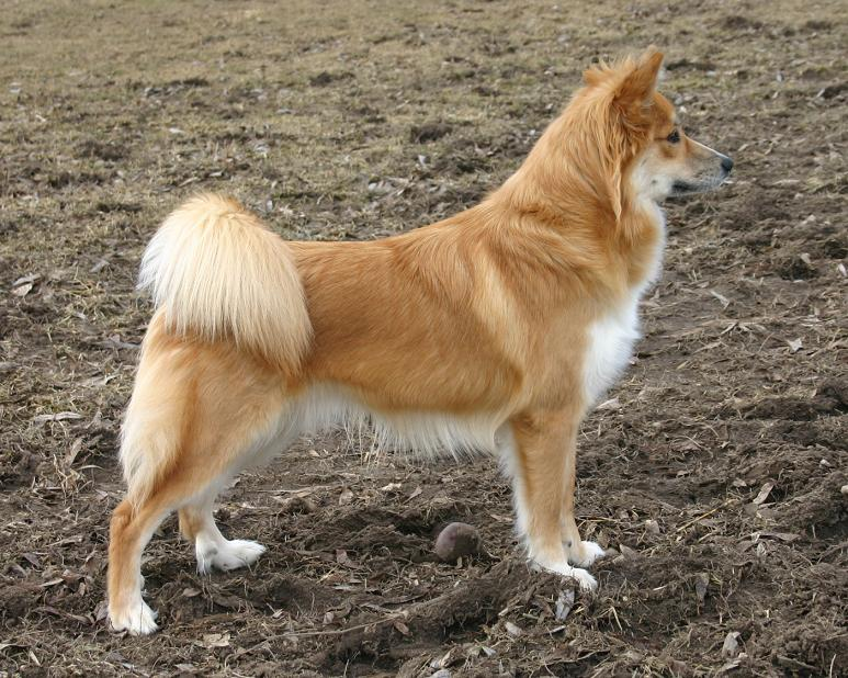 Icelandic Sheepdog Breed Guide Learn About The Icelandic