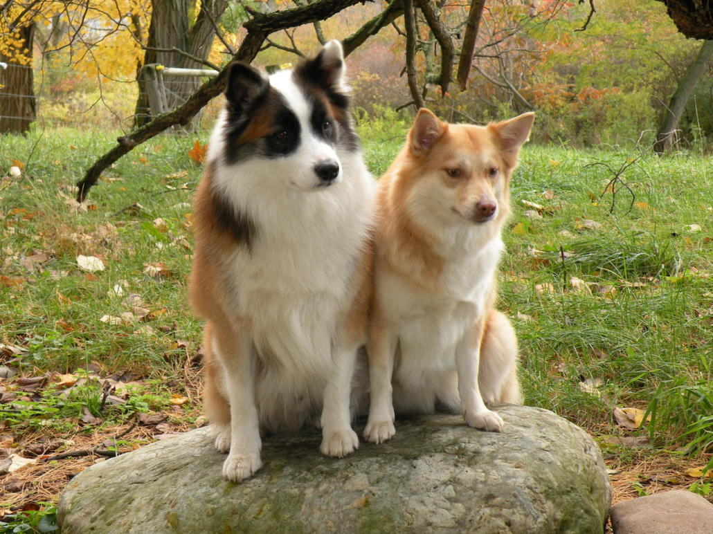 Great Icelandic Sheepdog Canine Adorable Dog - ICELANDIC-SHEEPDOG-6-1030x772  Collection_656698  .jpg