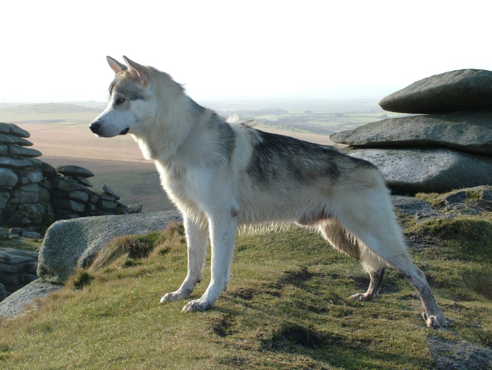 Dog Breed Northern Inuit