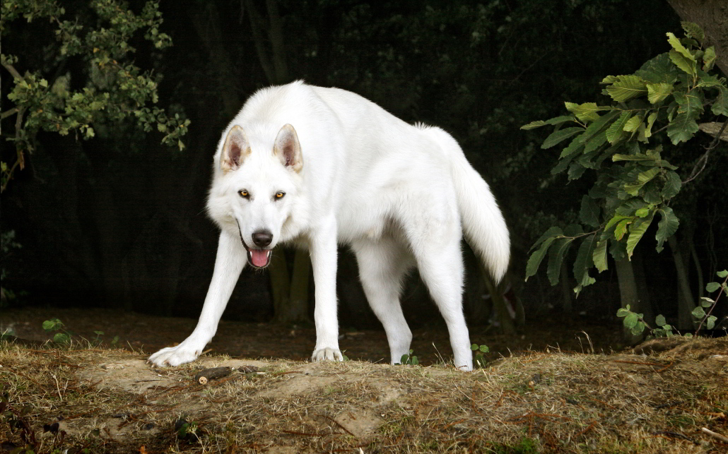 Northern Inuit Dog Breed Guide Learn About The Northern