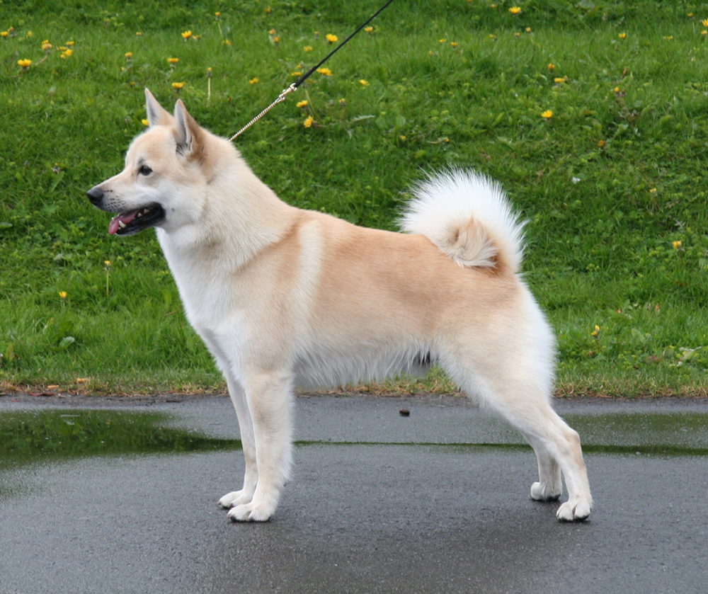 Norwegian Buhund Breed Guide - Learn about the Norwegian ...