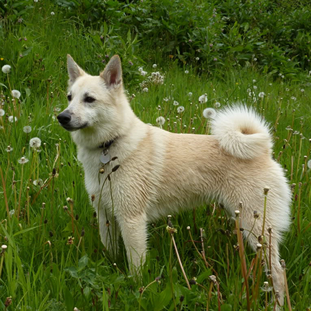 Norwegian Buhund Breed Guide Learn About The Norwegian