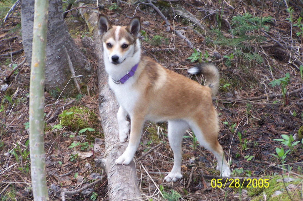 Norwegian Lundehund Breed Guide Learn About The
