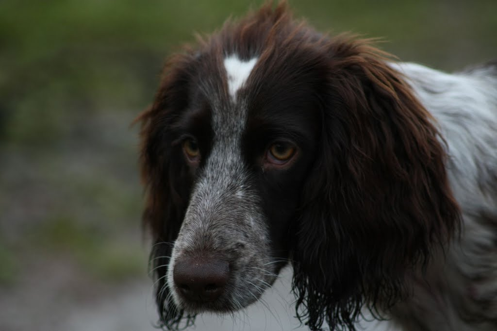 Russian Spaniel Breed Guide Learn About The Russian Spaniel