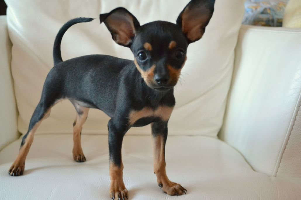 Toy Terrier Small Dogs : Russian toy terrier breed guide learn about the