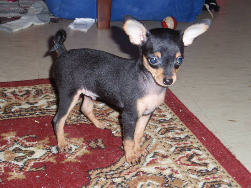 Russian Toy Terrier Breed Guide Learn About The Russian
