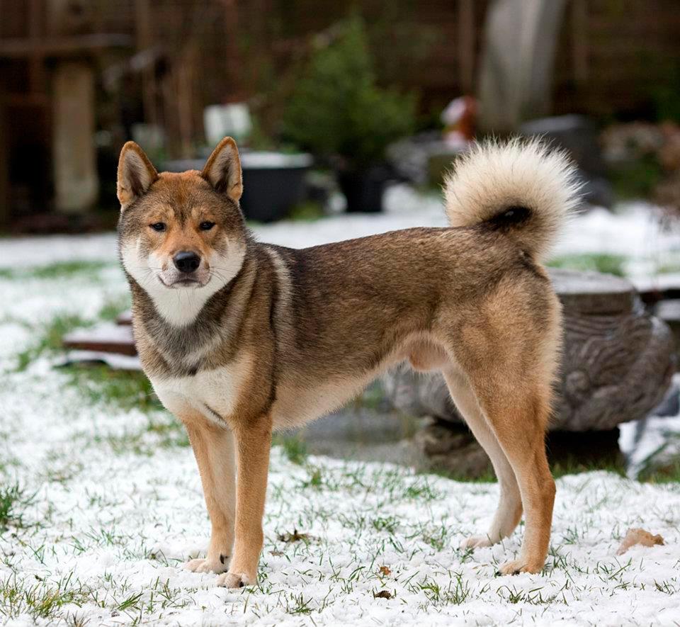 Shikoku Breed Guide Learn About The Shikoku