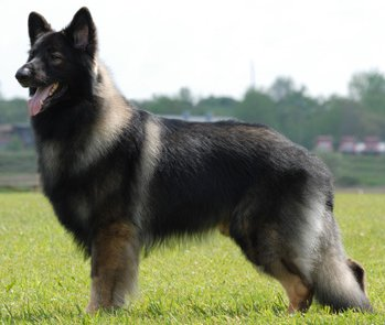 Shiloh Shepherd Dog Breed Guide Learn About The Shiloh