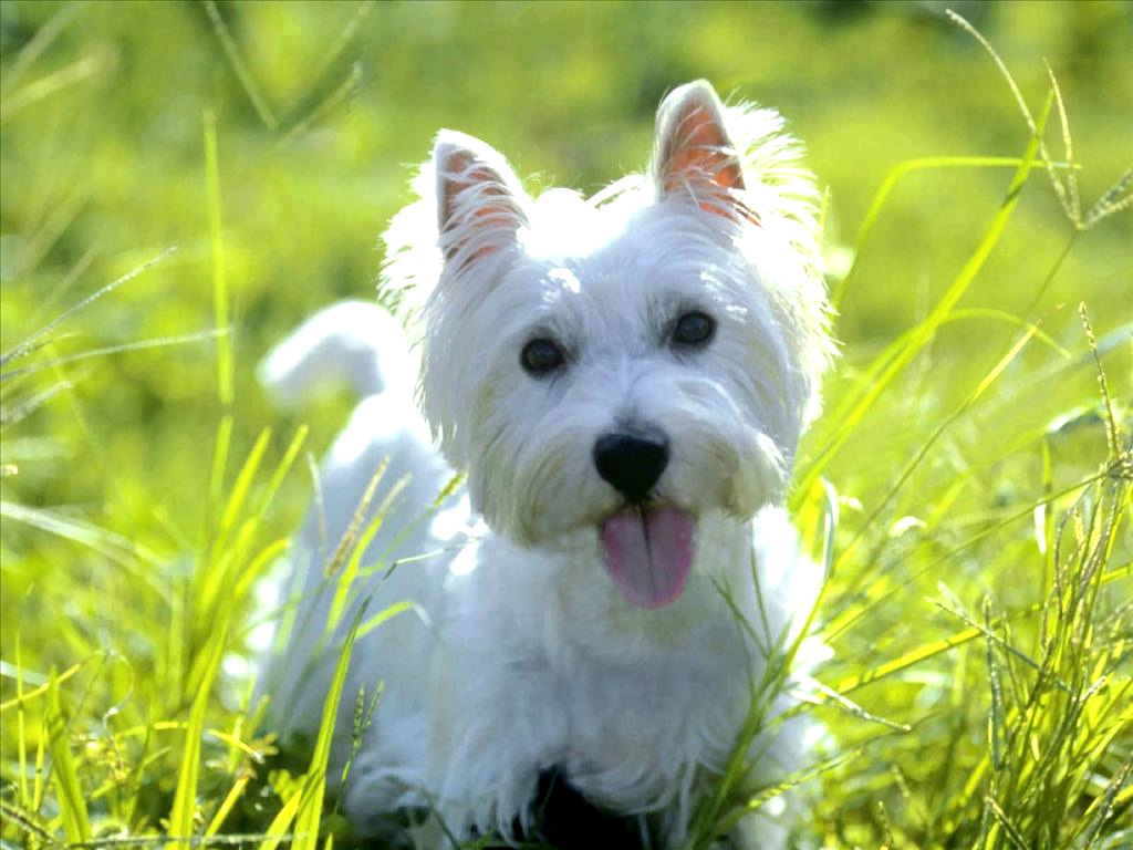 West Highland White Terrier Breed Guide Learn About The