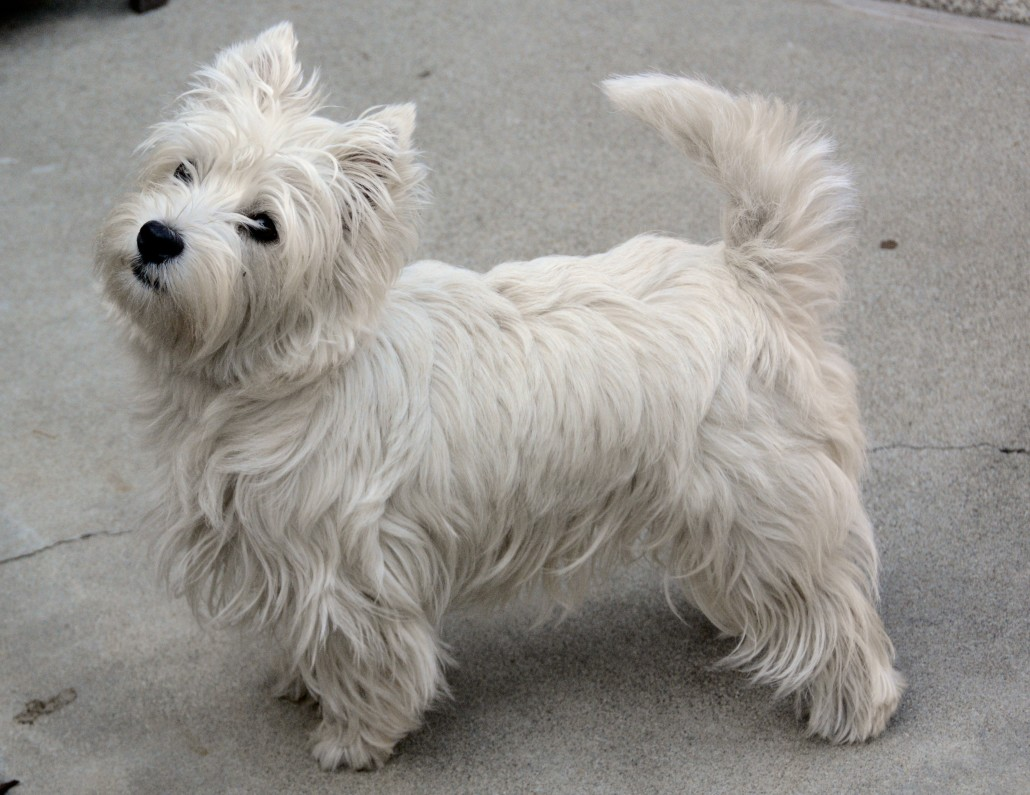 West Highland White Terrier Breed Guide - Learn about the ...
