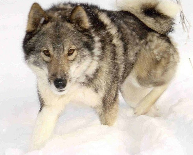 West Siberian Laika Breed Guide - Learn about the West ...