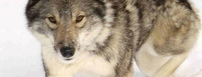 west siberian laika breed guide learn about the west