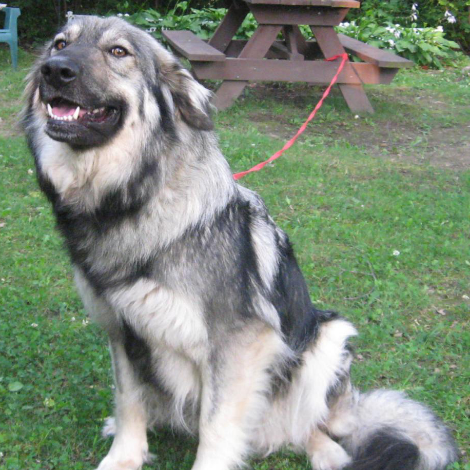 American Alsatian Breed Guide Learn About The American