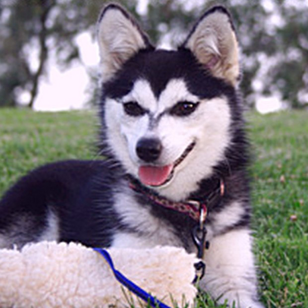 Alaskan Klee Kai Breed Guide Learn About The Alaskan