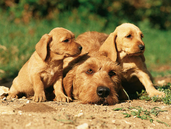 Basset Fauve De Bretagne Breed Guide Learn About The