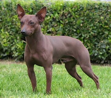 Xoloitzcuintli Training American Hairless Terr...