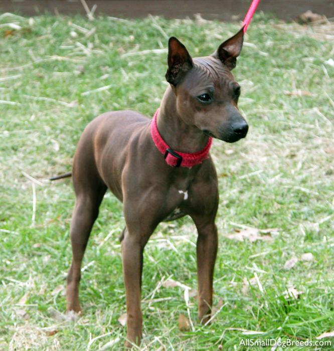 American Hairless Terrier Breed Guide Learn About The
