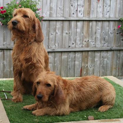 http://www.petpaw.com.au/wp-content/uploads/2014/09/two-cute-Basset-Fauve-de-Bretagne-dogs.jpg