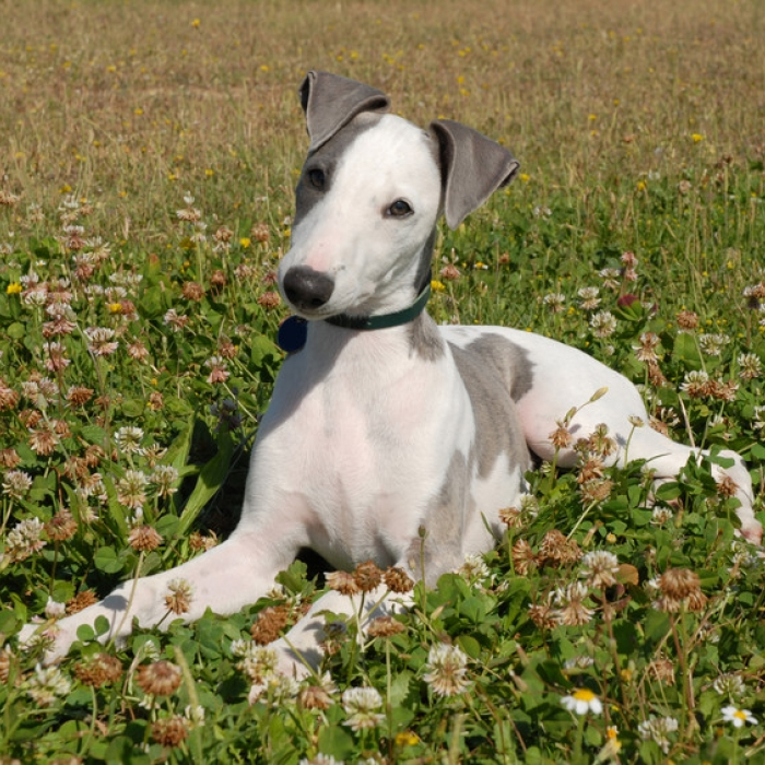 Whippet Breed Guide Learn About The Whippet