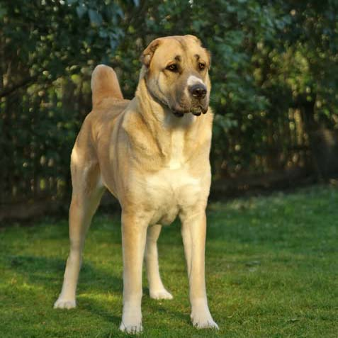 Central Asian Shepherd Breed Guide Learn About The
