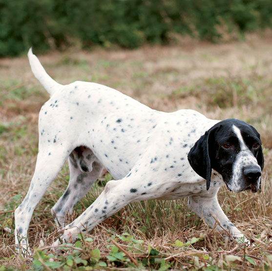 Braque D Auvergne Breed Guide Learn About The Braque D