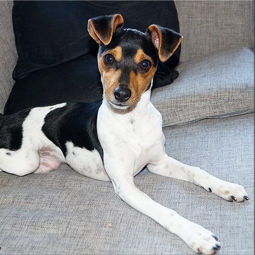 Brazilian Terrier Breed Guide Learn About The Brazilian