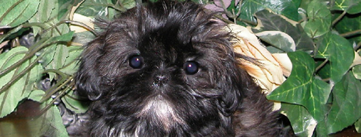 Chinese Imperial Dog Breed Guide Learn About The Chinese