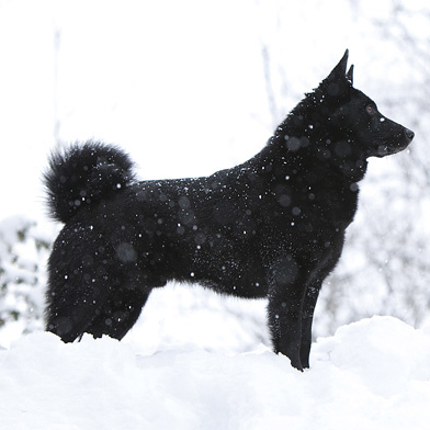 black norwegian elkhound breed guide learn about the black