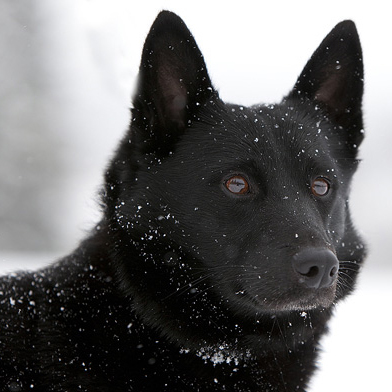 Black Norwegian Elkhound Breed Guide Learn About The