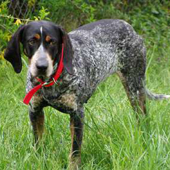 Bluetick Coonhound Breed Guide Learn About The Bluetick
