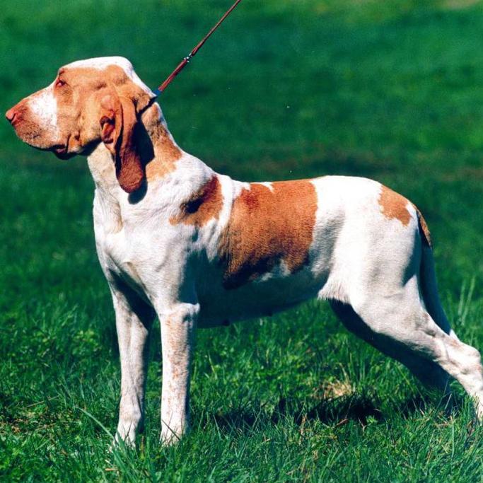 Bracco Italiano Breed Guide Learn About The Bracco Italiano