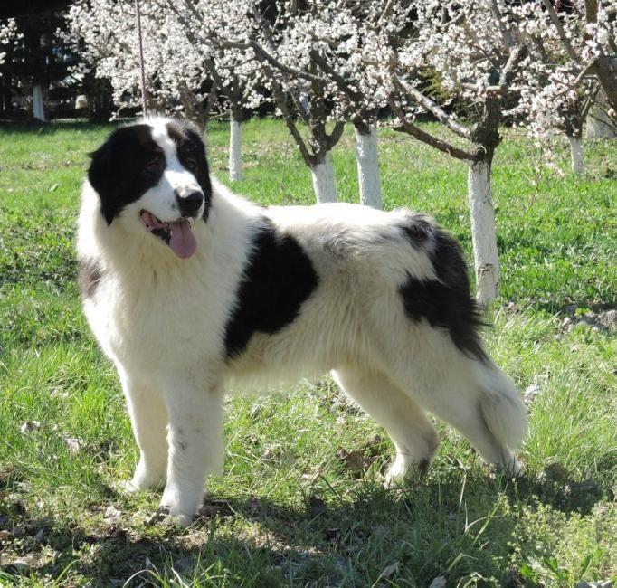 bucovina shepherd breed guide