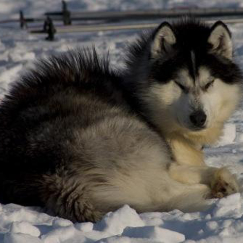 Canadian Eskimo Breed Guide Learn About The Canadian Eskimo
