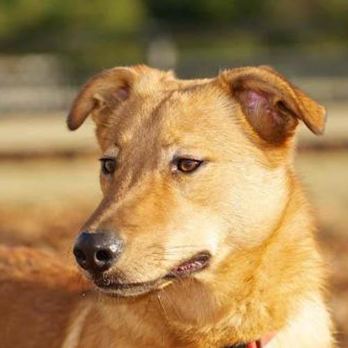 Carolina Dog Breed Guide Learn About The Carolina Dog