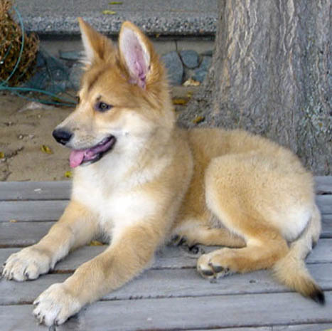 Carolina Dog Breed Guide Learn About The Carolina Dog
