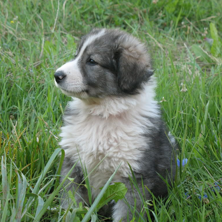Carpathian Shepherd Breed Guide Learn About The