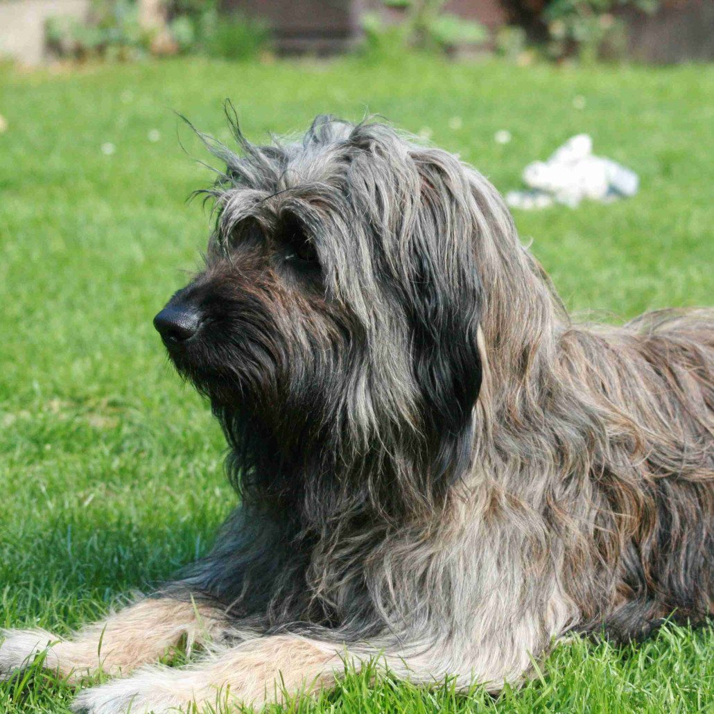 Catalan Sheepdog Breed Guide Learn About The Catalan