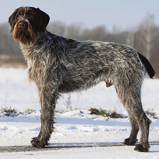 Cesky Fousek Breed Guide Learn About The Cesky Fousek