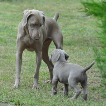 Chien Gris Breed Guide Learn About The Chien Gris