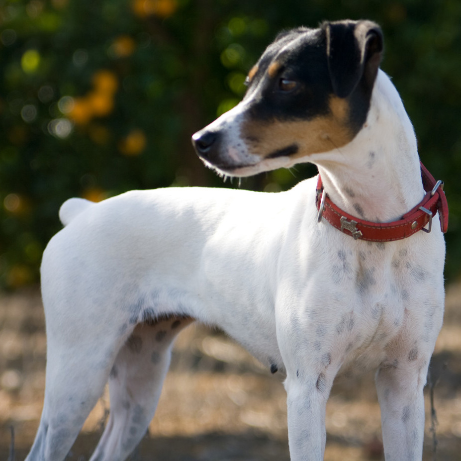 Chilean Fox Terrier Breed Guide Learn About The Chilean