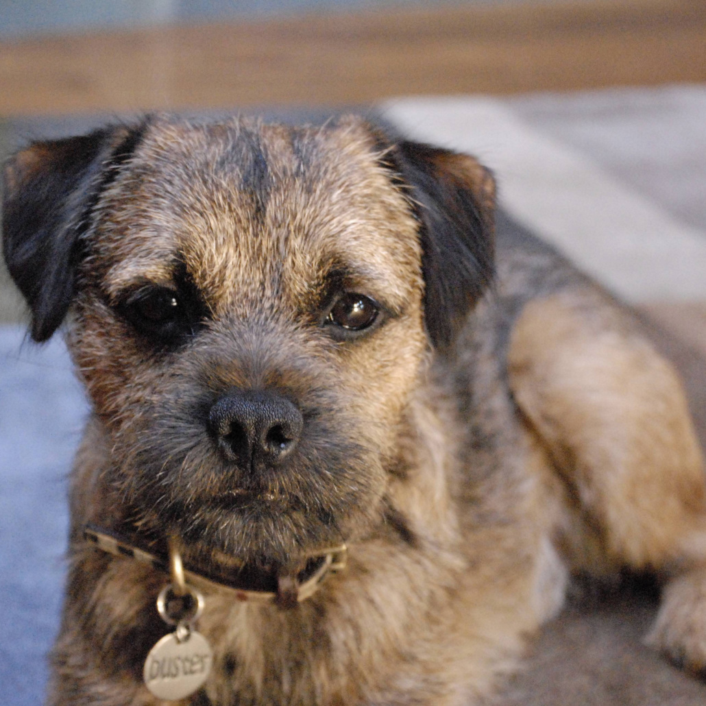 Amazon.com: Michael Park Border Terrier Bookends Wheaten: Pet Supplies | 1030x1030