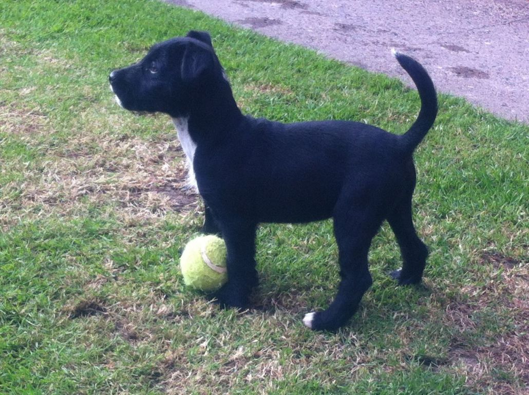 Patterdale Terrier Breed Guide Learn About The