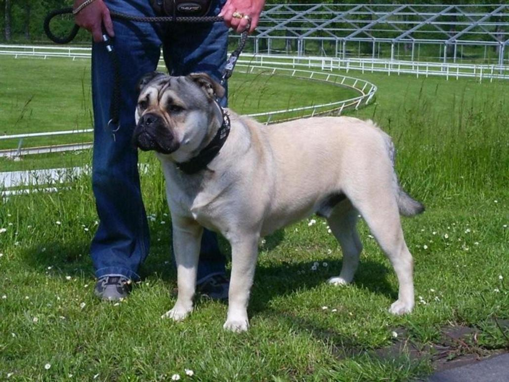 Perro de Presa Mallorquin Breed Guide - Learn about the ...