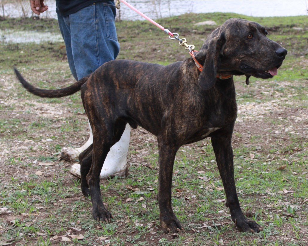 Plott Hound Breed Guide Learn About The Plott Hound
