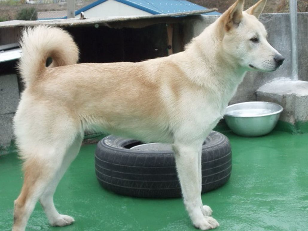 Pungsan Dog Breed Guide - Learn about the Pungsan Dog.