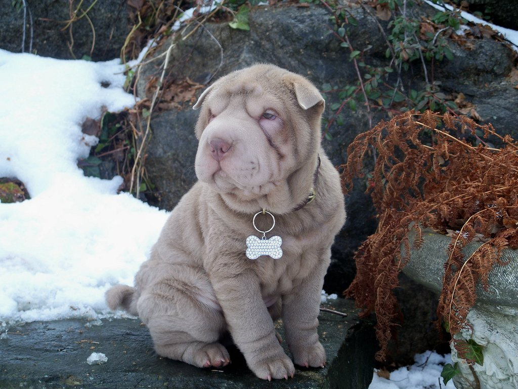Shar pei breed guide learn about the shar pei for Take me fishing org